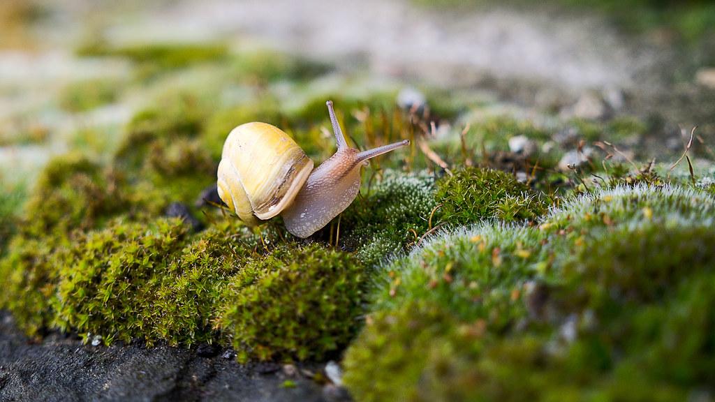 Garten-Bänderschnecke (5) | Salve! | Flickr