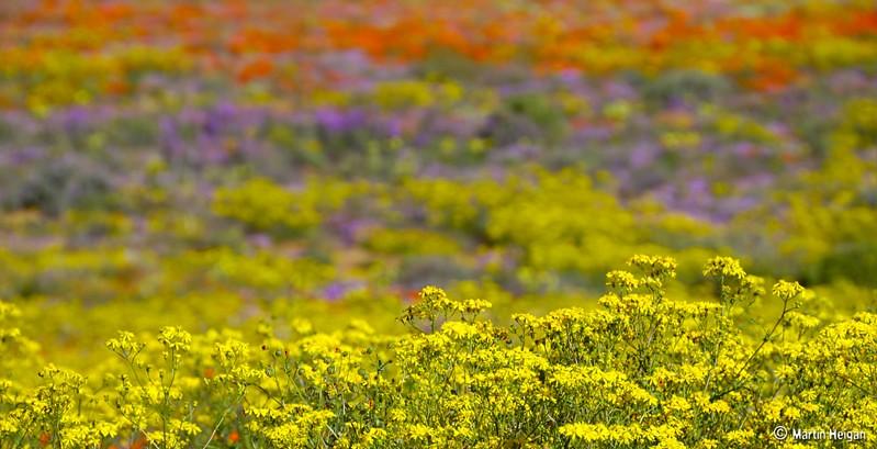 Namaqua Flores