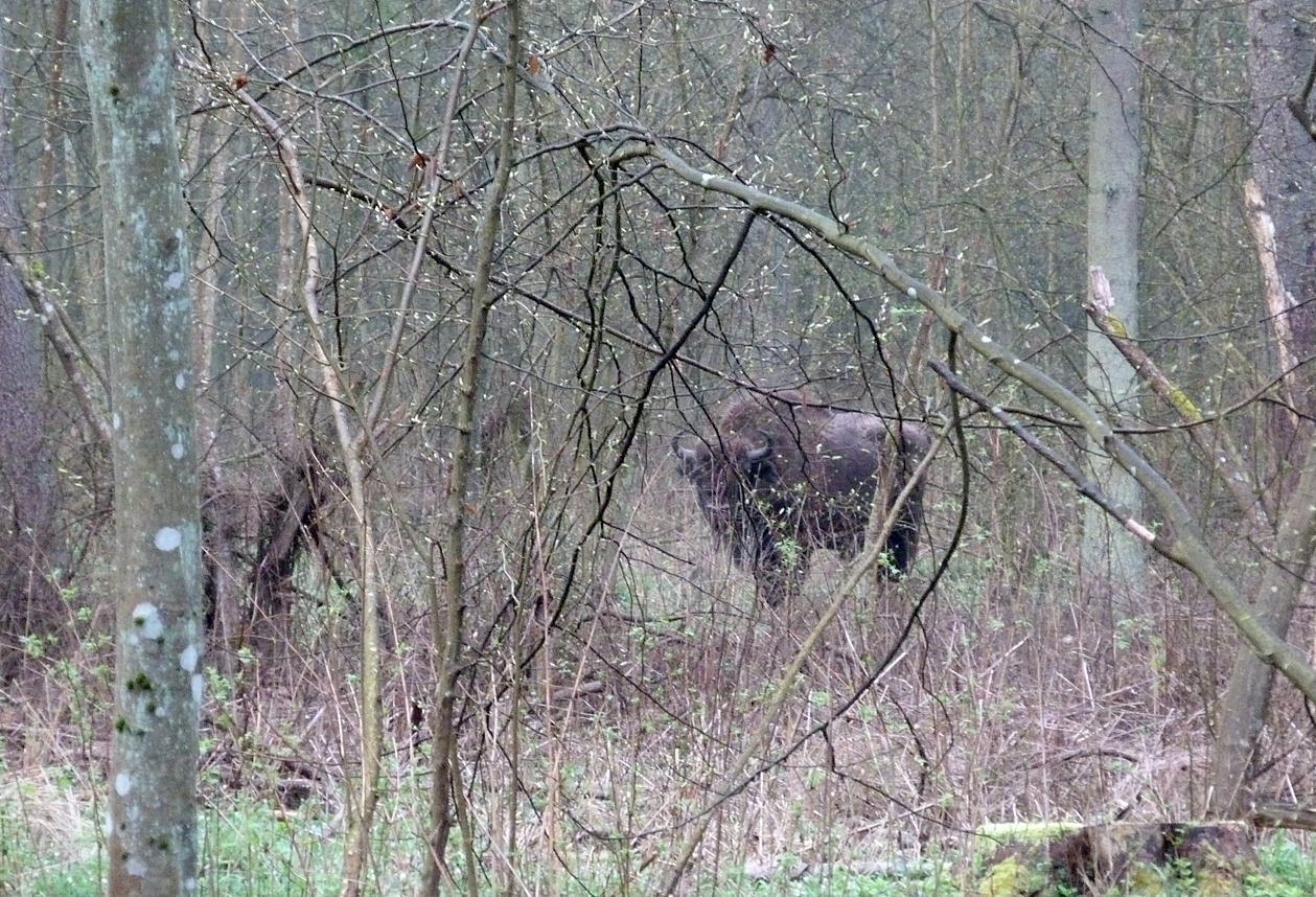 Bison Bialowieza