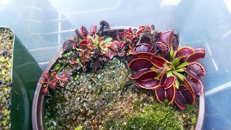 Dionaea 'B-52' plantlets, 1-9-2016.