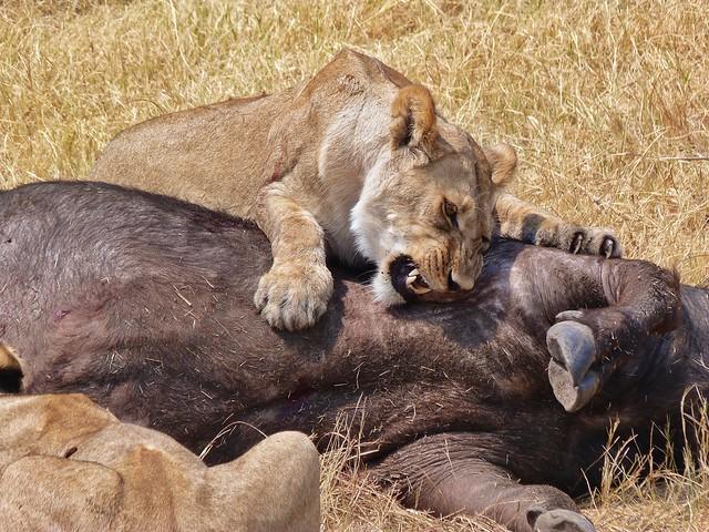 León mordiendo a un búfalo en Botswana