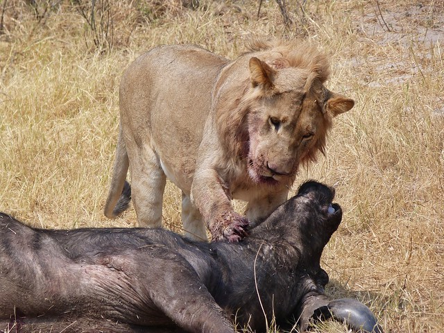 León cazando un búfalo en Botswana