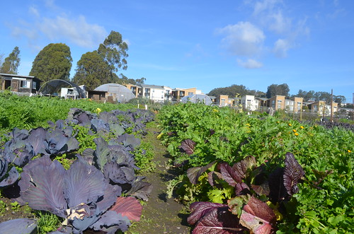 Field crops on the Homeless Garden Project
