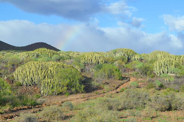 Cardon, Malpais, Guimar, Tenerife