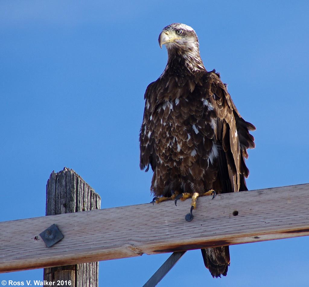 three year old bald eagle