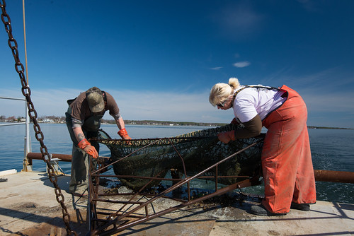 fisheries staff pulling up a net to find and count crabs
