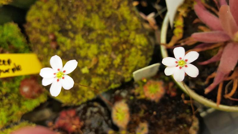 Drosera helodes flowers.