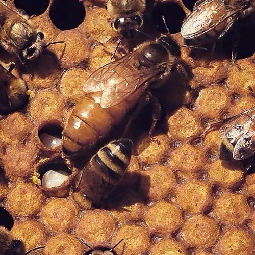 Eric Grandon's bees
