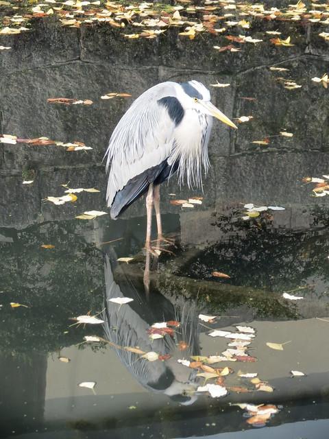 Grey heron, Kyoto