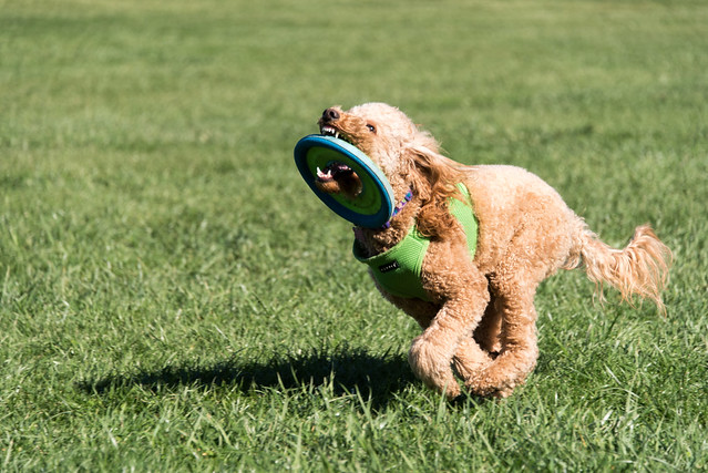 groodle-exercise-goldendoodle