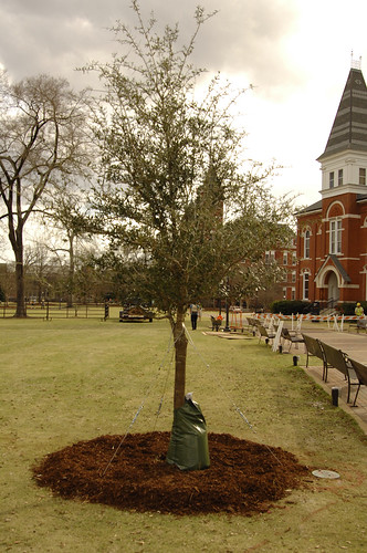 A descendant of the original Auburn Oaks has been planted in Samford Park at Auburn University.