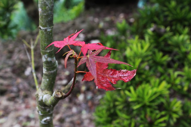 青楓的葉子轉紅了,黃榮堃笑說,這裡有可以賞楓。攝影:廖靜蕙