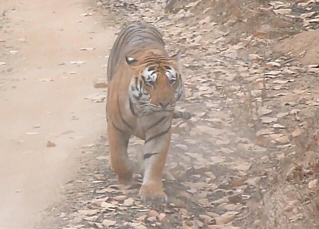 Macho de tigre de Bengala en Kanha (Safari en India con Comando Piraña)