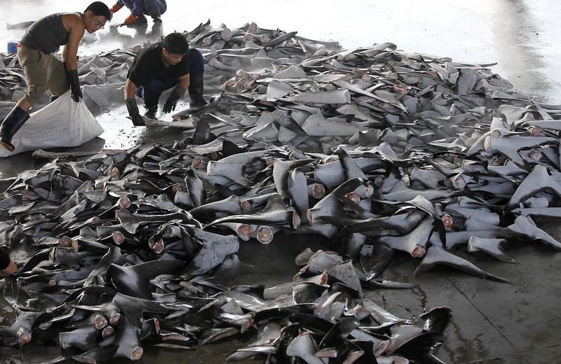 台灣雖有先進的「鯊魚鰭不離身」,都因稽查配套不足難以執行,形成法律漏洞。圖片來源:台灣綠色和平組織