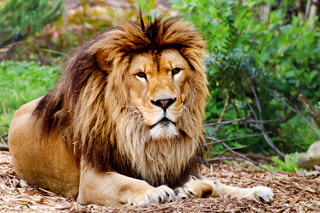 Male Lion, Sora of Zoorasia : ズーラシア 雄ライオンのソラ