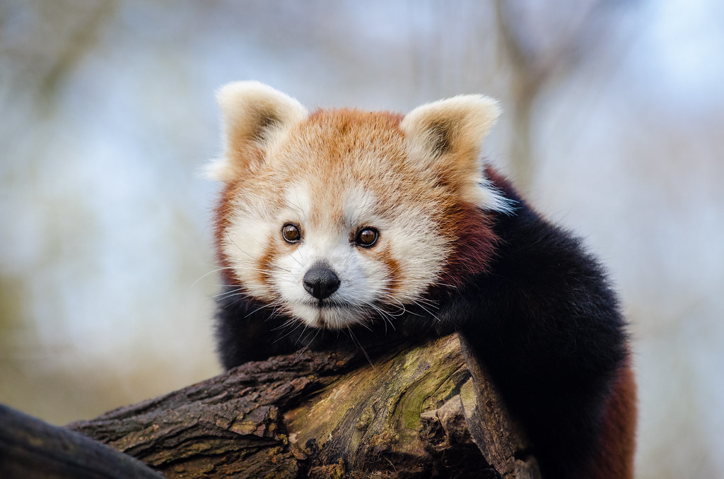 Red Panda | Red pandas love to relax after a long day of bei ...