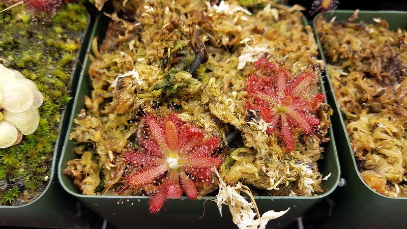 Drosera graomogolensis.