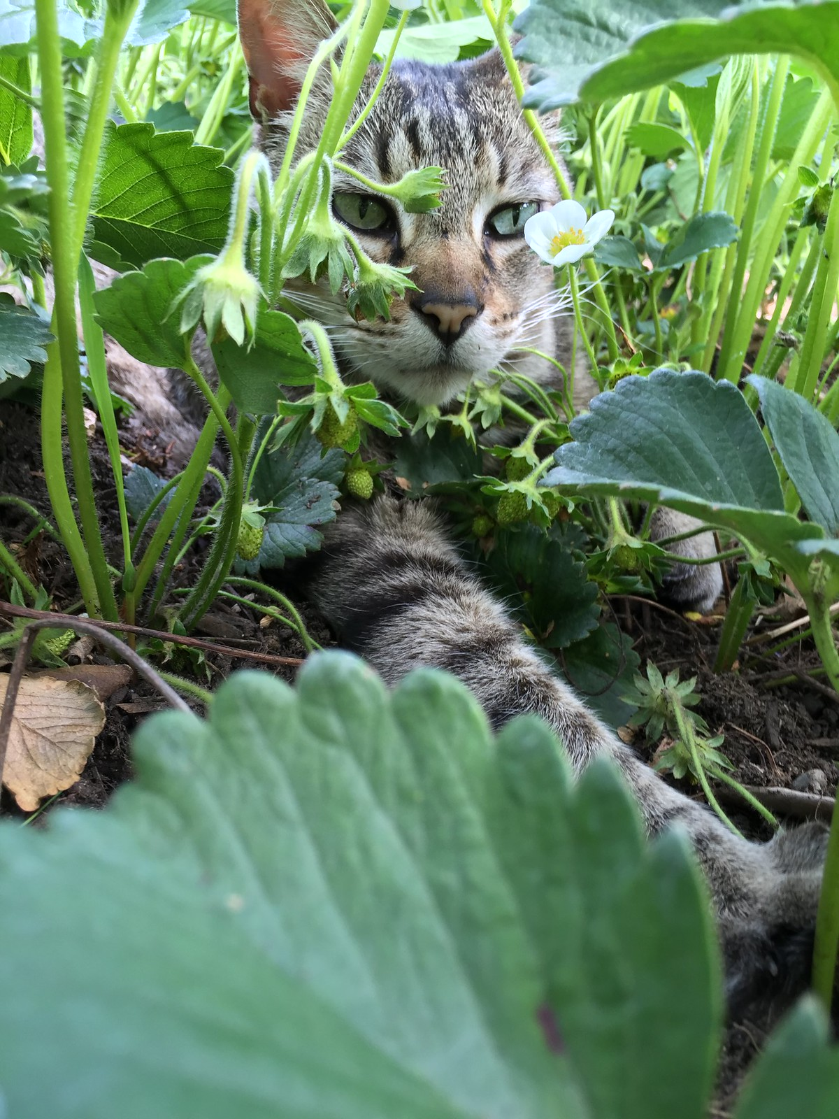Cat helping weed strawberries.