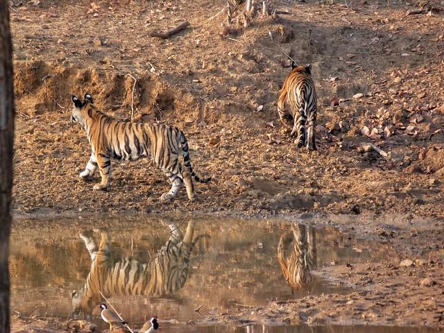 Cachorros de tigre en Bandhavgarh (India)