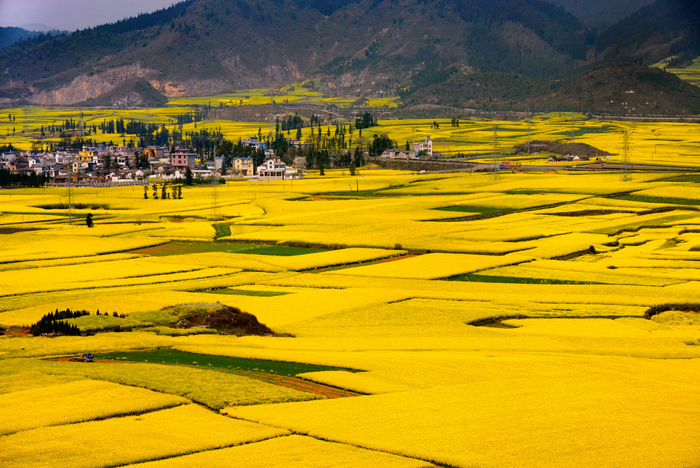 These fields in China become spectacular during the flowering season. Canola flower field in Luoping, Yunnan, China