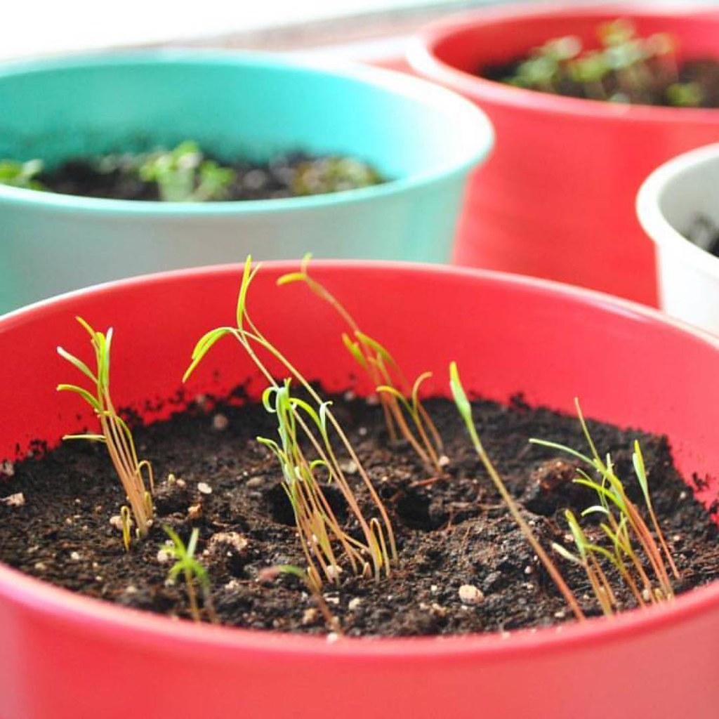 Как вырастить рассаду виолы - когда сажать, видео 36