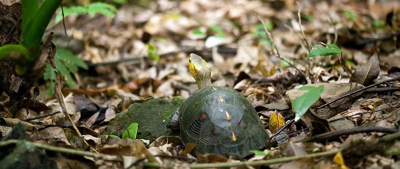 台灣野生龜還面臨不確定的未來。圖片來源:陳添喜。