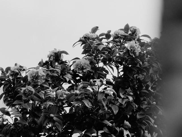 flower bush in black and white