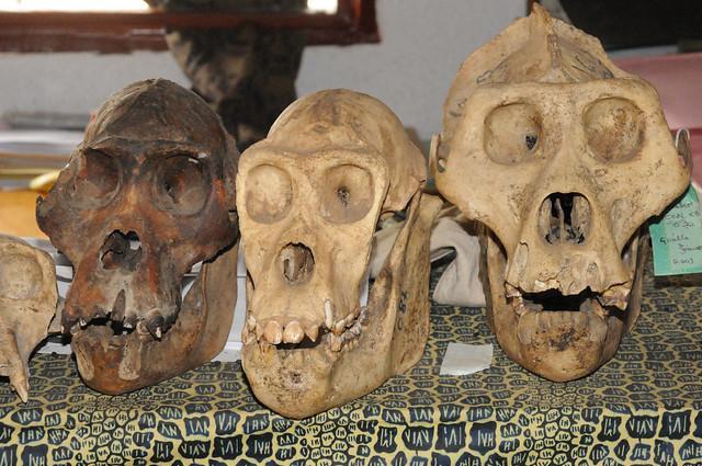 東部低地大猩猩(Grauer's gorillas)。圖片來源:Wildlife Conservation Society