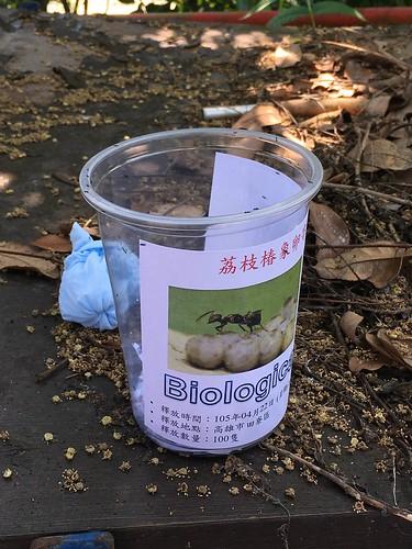 平腹小蜂成蜂釋放作業。圖片來源:高雄市政府農業局提供