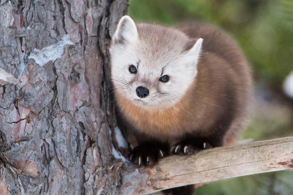 Cute Pine Marten