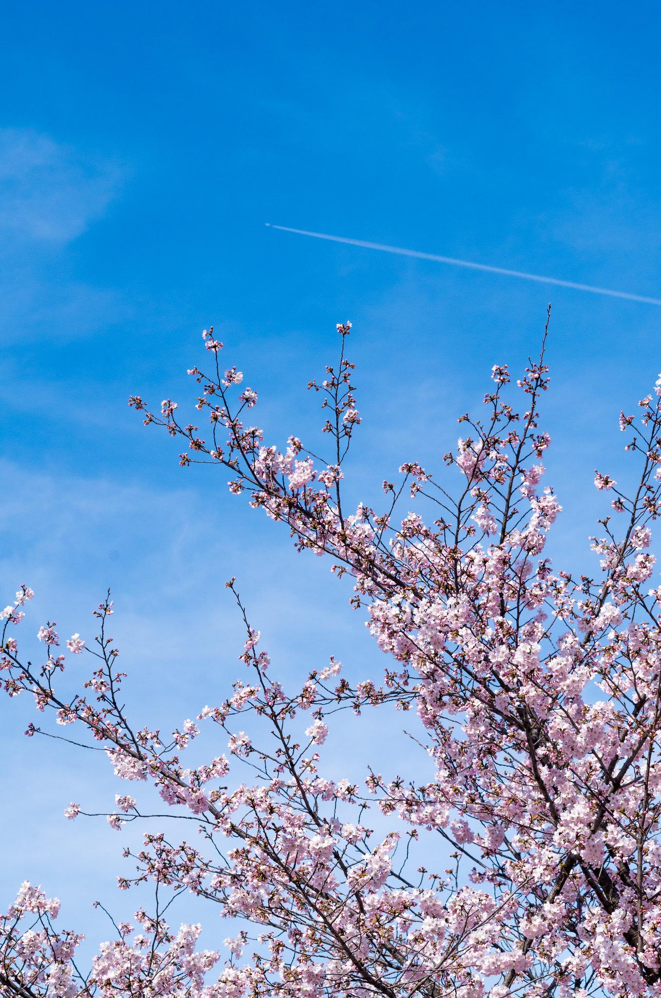 桜と飛行機雲