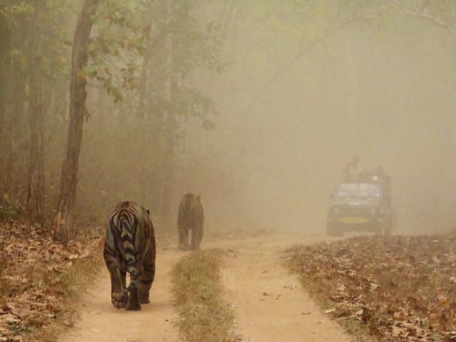 Dos tigres de Bengala en Kanha (India)