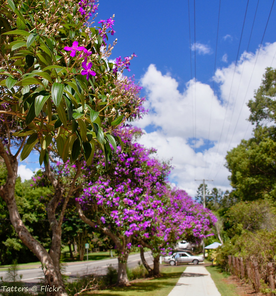 purple glory trees in australia