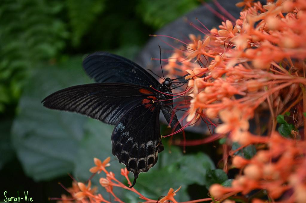 Papillons en libert jardin botanique de montr al sarah for Jardin botanique montreal papillons 2016