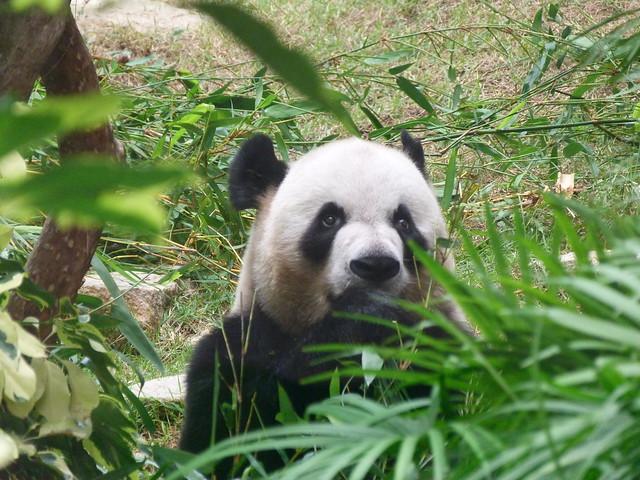 Oso panda gigante en Coloane (Macao)