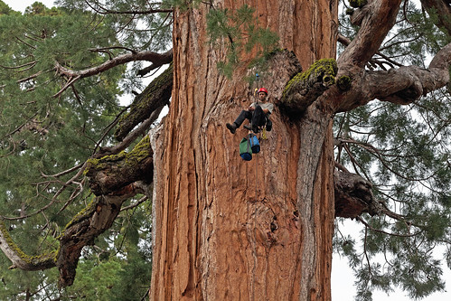 U.C. Berkeley biologist Cameron Williams ascending a giant sequoia to collect leaf samples