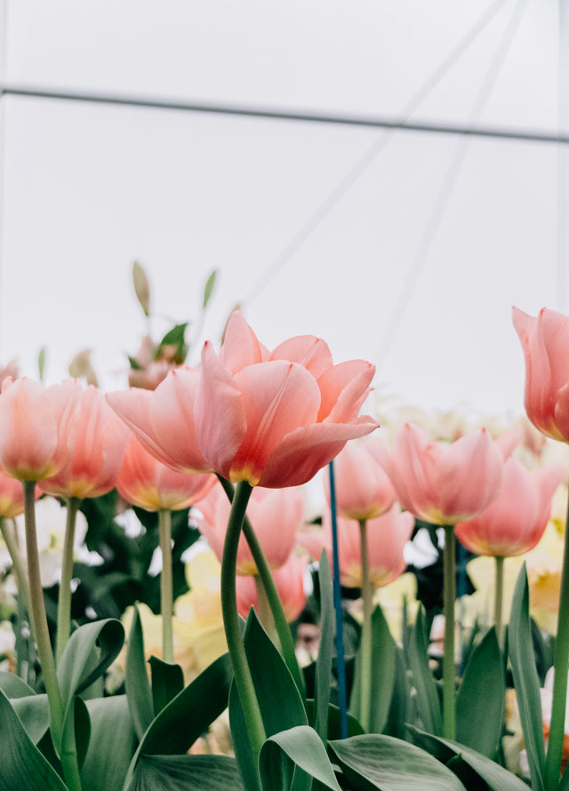pink tulips from low angle