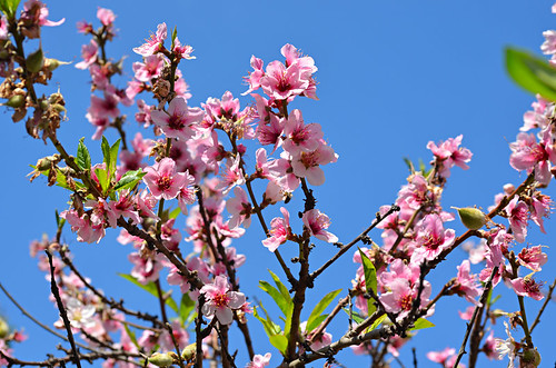 Peach blossom, north Tenerife