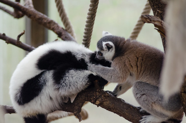 Interspecies lemur friends
