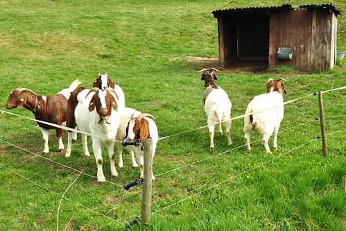 Ziege Ziegen neugierig Foto Brigitte Stolle April 2016