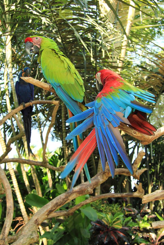 Burung Nuri di Bali Bird Park