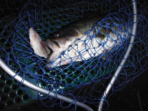 6-4 Pre-Spawn Bass