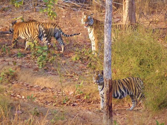 Tigres en Bandhavgarh (Safari en India con Comando Piraña)