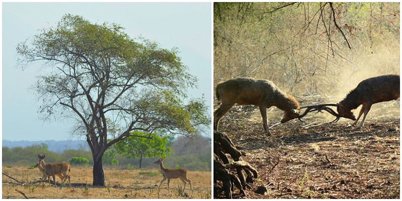 Baluran National Park Deers