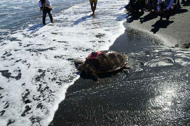 2015年11月阿飛在宜蘭外海野放。圖片來源:程一駿提供