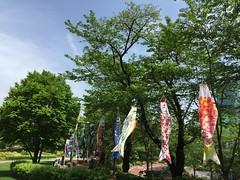 鯉のぼり@東京ミッドタウン 2016.4.25