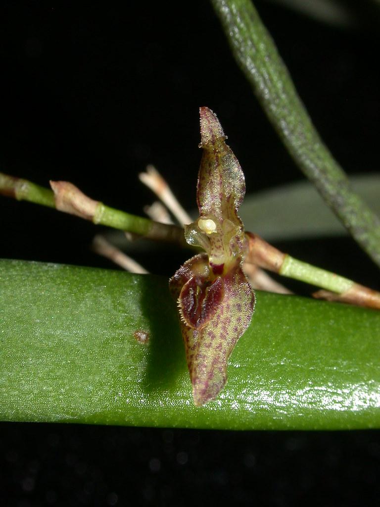 Miniatur-Orchideen Teil 3 - Seite 3 24666389191_cdc89c2de6_b