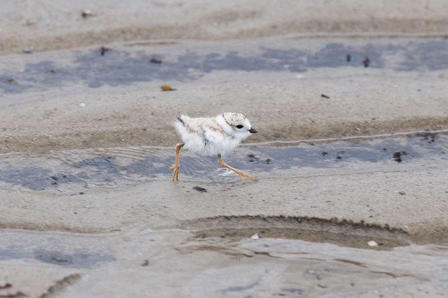restoration of piping plover populations require