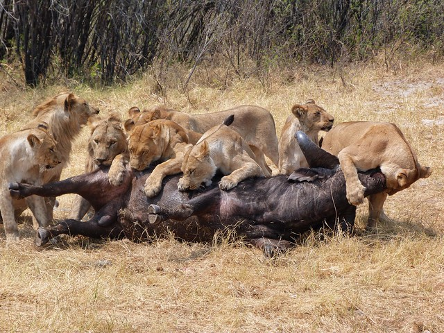 Leones comiéndose a un búfalo en Savuti (Botswana)