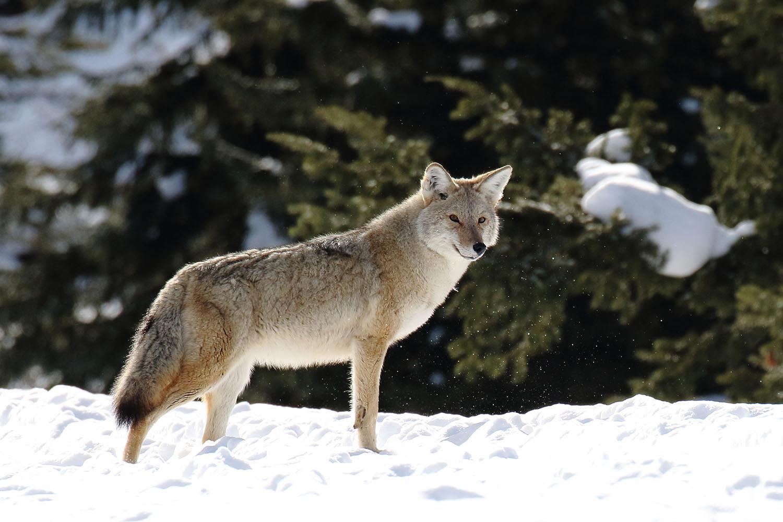 Un hiver dans le Yellowstone – Episode 5 – Entre Chien et